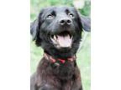 Adopt Purl a Black Flat-Coated Retriever / Mixed dog in Roselle, IL (25529005)