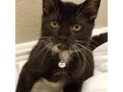 Adopt Moby a Black & White or Tuxedo Domestic Shorthair / Mixed (short coat) cat