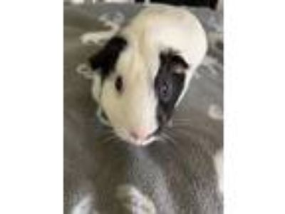 Adopt Sunny a White Guinea Pig (short coat) small animal in Aurora