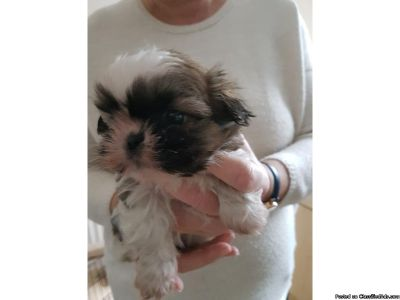 Lovel Male and Female Shih Tzu puppy for adoption NOW !!!!