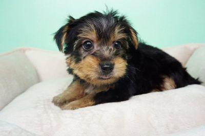 Yorkie Puppy – Male- Paul ($1,499)