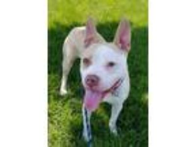 Adopt Newton Bailey a Tan/Yellow/Fawn - with White Pit Bull Terrier / Mixed dog