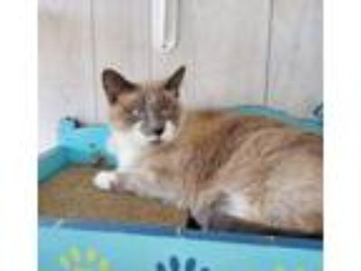 Adopt Mandy Fostered (Linon) a Siamese