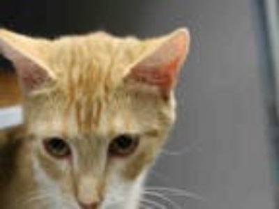 Adopt *IZZY* a Orange or Red (Mostly) Domestic Mediumhair / Mixed (medium coat)