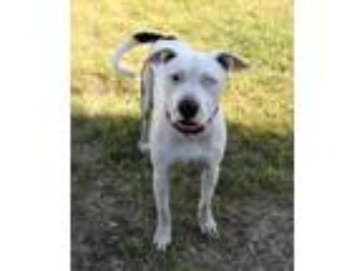 Adopt Stray Fort Island Trl:05-23 a White American Staffordshire Terrier / Mixed