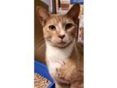 Adopt Tut meet me 7/26 a Orange or Red (Mostly) Egyptian Mau (short coat) cat in
