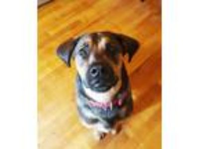 Adopt Deliliah a Brown/Chocolate - with Tan Rhodesian Ridgeback / Hound (Unknown