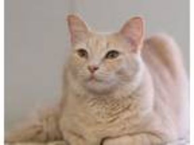 Adopt Wrenn a Domestic Medium Hair, Tabby
