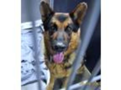 Adopt Hs230524 / Troy a German Shepherd Dog