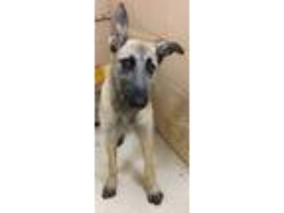 Adopt Taffy a Gray/Silver/Salt & Pepper - with Black Irish Wolfhound / Mixed dog