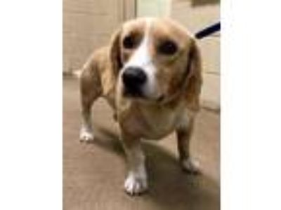 Adopt Reuben* a Tan/Yellow/Fawn Basset Hound / Mixed dog in Anderson