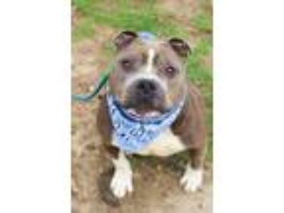 Adopt Turtle a Pit Bull Terrier, Mixed Breed