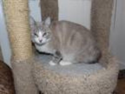 Adopt Marley a Gray or Blue (Mostly) Snowshoe (short coat) cat in Stafford
