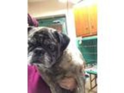 Adopt Elmer a Tan/Yellow/Fawn Pug / Mixed dog in Anderson, IN (25592825)
