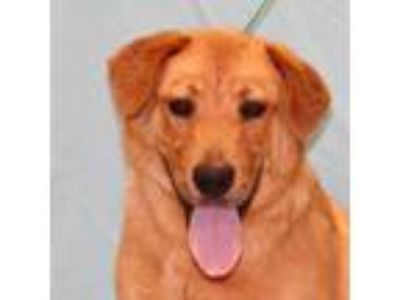 Adopt Tucker a Red/Golden/Orange/Chestnut Golden Retriever / Flat-Coated
