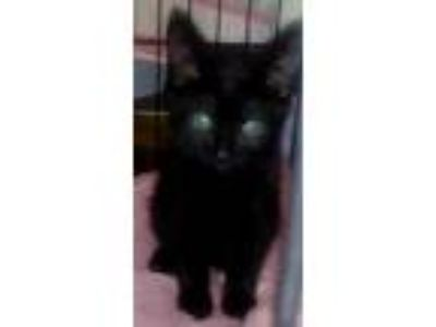 Adopt Macy a Domestic Short Hair