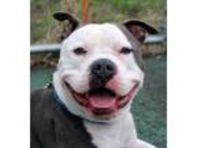 Adopt Ace (Loving Young Boy, Good with Older Kids & Dogs) a Pit Bull Terrier