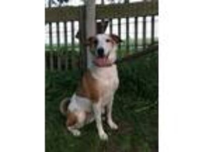 Adopt Andy a Collie, American Staffordshire Terrier