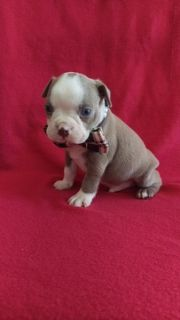 Boston Terrier PUPPY FOR SALE ADN-87434 - AKC Boston Terrier Lilac