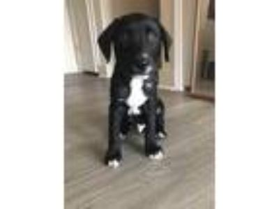 Adopt Linus a Black - with White Labrador Retriever / Mixed dog in Greenfield