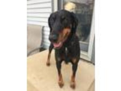 Adopt Lexi a Black Doberman Pinscher / Mixed dog in Columbus, OH (17900704)