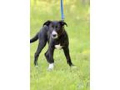 Adopt Kenny a Black - with White Border Collie / Australian Cattle Dog / Mixed