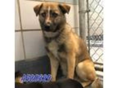 Adopt Polo a Tan/Yellow/Fawn Shepherd (Unknown Type) / Mixed dog in Merrimac