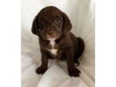 Adopt Ginger a Brown/Chocolate - with White Labrador Retriever / Mixed dog in