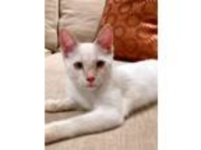 Adopt Flame a Cream or Ivory (Mostly) Siamese (short coat) cat in Sudbury