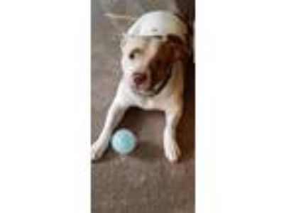 Adopt Coboe a American Staffordshire Terrier
