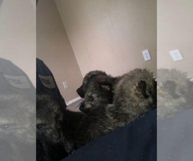 Wolf Hybrid Mix PUPPY FOR SALE ADN-130975 - Wolf dog pups