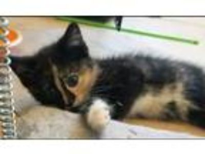 Adopt Pineapple a Calico or Dilute Calico Domestic Shorthair (short coat) cat in