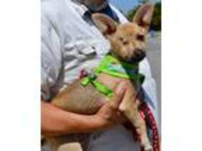 Adopt Buster a Tan/Yellow/Fawn Rat Terrier / Mixed dog in Simi Valley