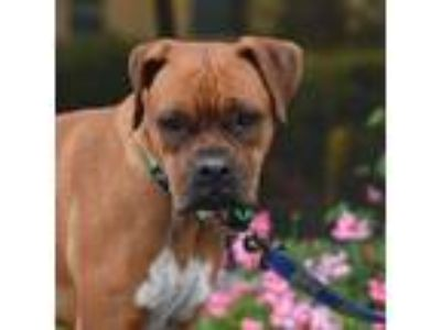 Adopt Penelopeeps a Tan/Yellow/Fawn - with Black Boxer / Mixed dog in Alameda