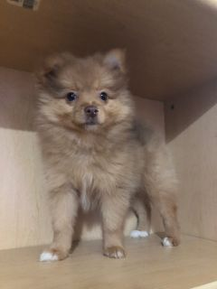 Pomeranian PUPPY FOR SALE ADN-113422 - Female Red Chocolate Merle