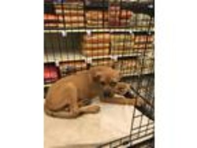 Adopt Drake a American Staffordshire Terrier, Hound
