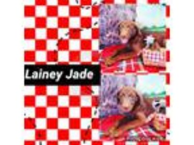 Adopt Lainey Jade a Brown/Chocolate Labrador Retriever / Mixed dog in Ringwood