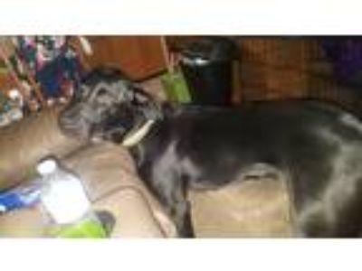 Adopt Moose a Black Labrador Retriever dog in Weatherford, TX (25045616)