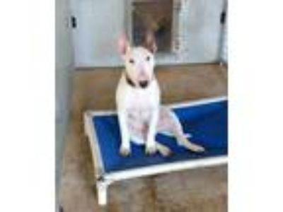 Adopt Rocky a White - with Red, Golden, Orange or Chestnut Bull Terrier / Mixed