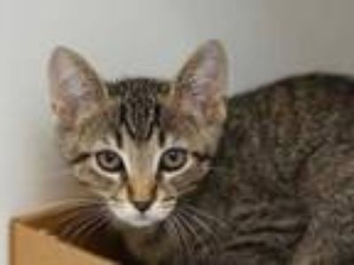 Adopt Patty a Gray or Blue Domestic Shorthair / Domestic Shorthair / Mixed cat