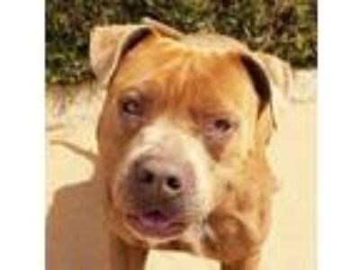 Adopt Mellow Mr Maxor a American Staffordshire Terrier