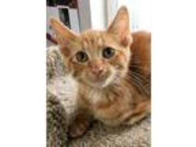 Adopt Edward a Orange or Red Domestic Shorthair / Domestic Shorthair / Mixed cat