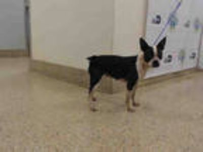 Adopt LUCY a Black - with White Boston Terrier / Mixed dog in Doral