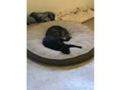 Adopt Chester a Brown or Chocolate (Mostly) American Shorthair / Mixed cat in