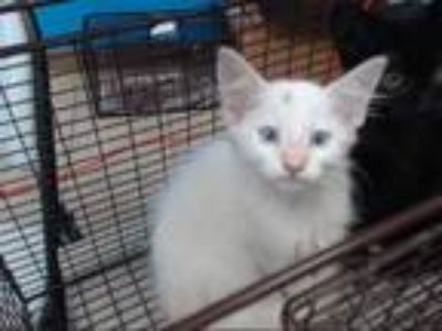 Adopt a White Domestic Longhair / Mixed (long coat) cat in Houston