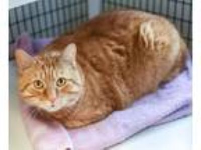 Adopt Sonny a Domestic Shorthair / Mixed (short coat) cat in Lawrenceville