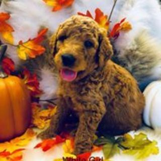 Goldendoodle PUPPY FOR SALE ADN-96816 - Goldendoodle Puppies F1bb