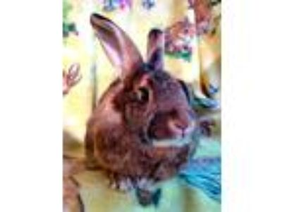 Adopt Charlie a Cinnamon Harlequin / Mixed (short coat) rabbit in Waynesboro