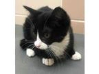 Adopt Trixie a All Black Domestic Shorthair / Domestic Shorthair / Mixed cat in