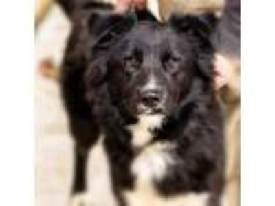 Adopt Tessa a Black - with White Border Collie / Mixed dog in Prosper